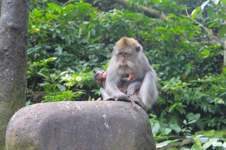 Mutterliebe im Monkey Forest
